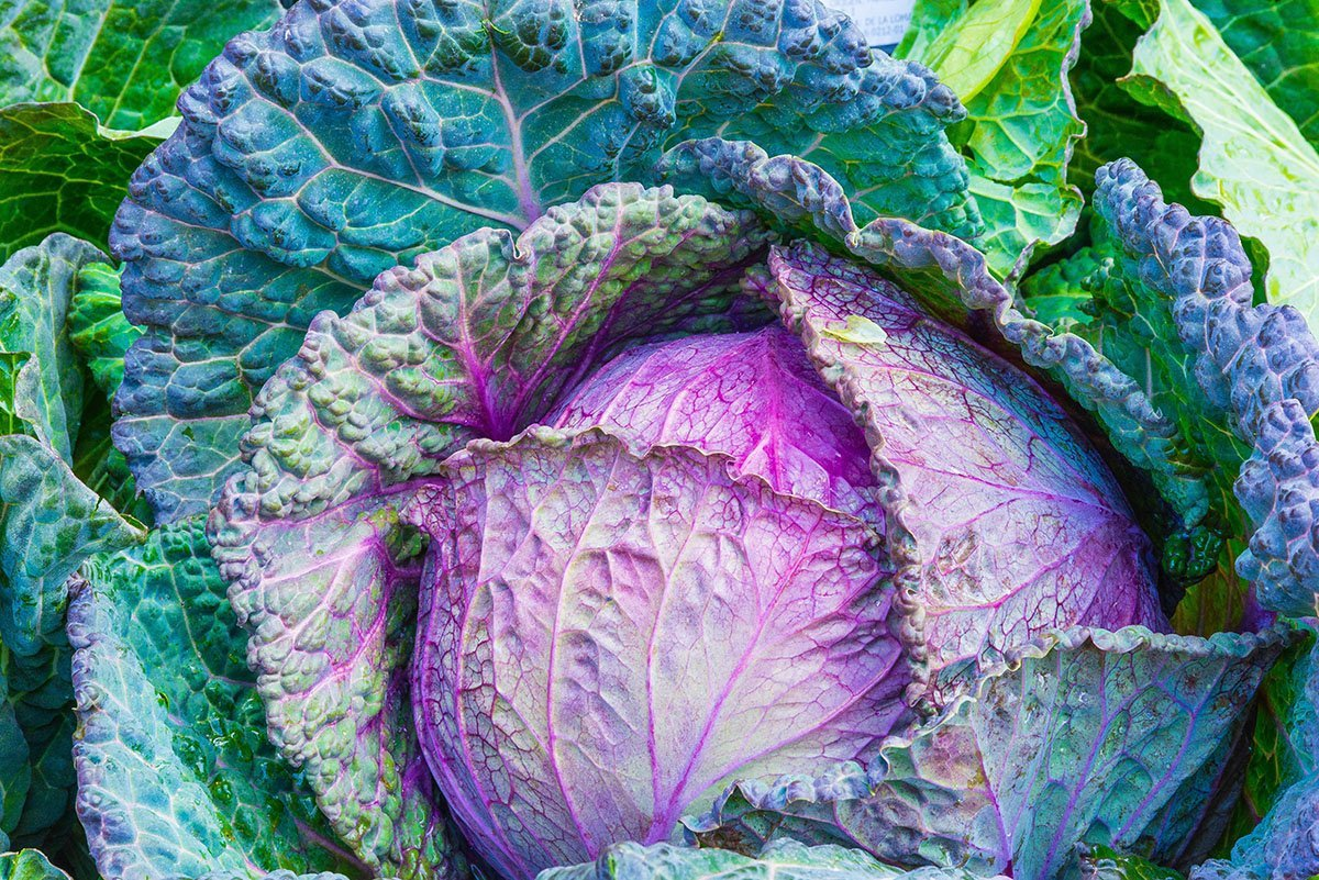 Large purple cabbage