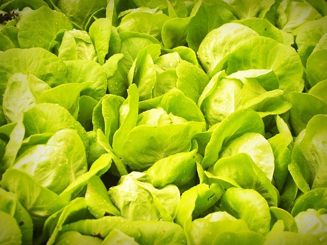 An aquaponic bed of lettuce