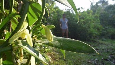 Photo of Vanilla Cultivation: A Practical Guide for the Tropical Homestead