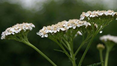 Photo of Herbs of Zaytuna Farm – Yarrow