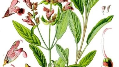 Photo of Herbs of Zaytuna – Sage