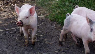 Photo of Raising Pigs Part 2 – New Piglets