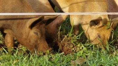 Photo of Raising Pigs — Part 4