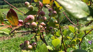 Photo of How to Grow a Blueberry Guild in a Temperate Climate Successfully