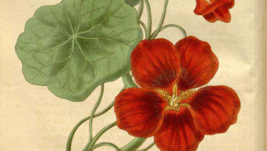 Photo of Herbs of Zaytuna Farm – Nasturtium