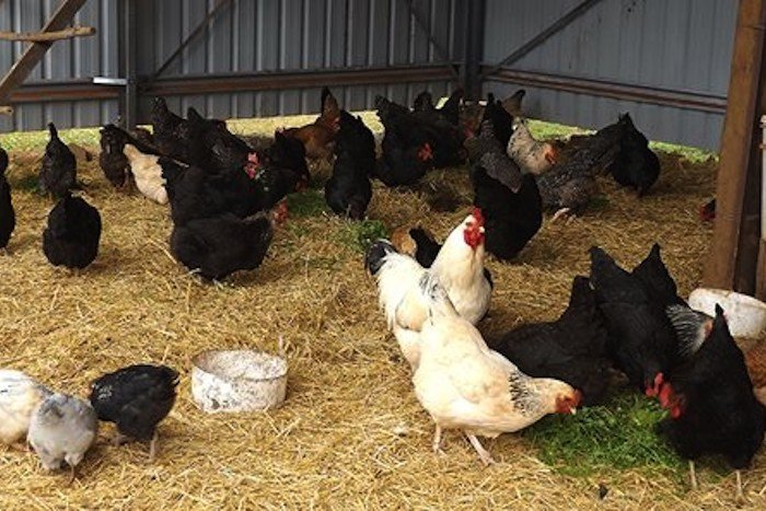 Seven Advantages of Deep Litter Housing for Chickens 1