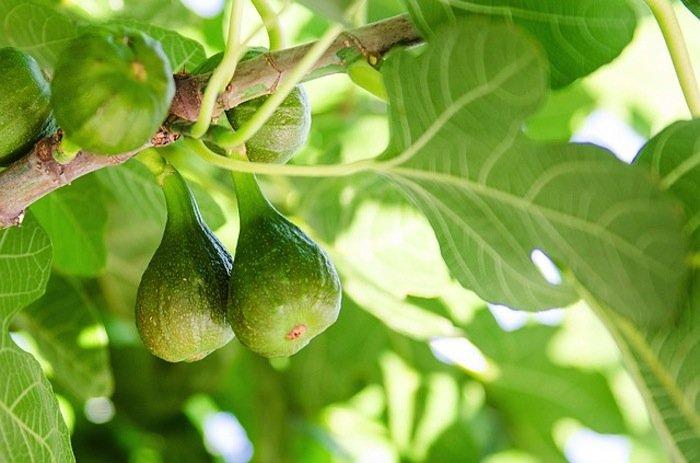 Fig Tree Fire Break