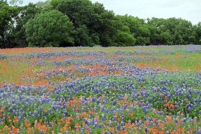 Texas Bluebonnets Lawns