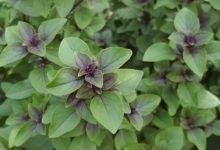 Photo of Herbs of Zaytuna Farm – Tulsi