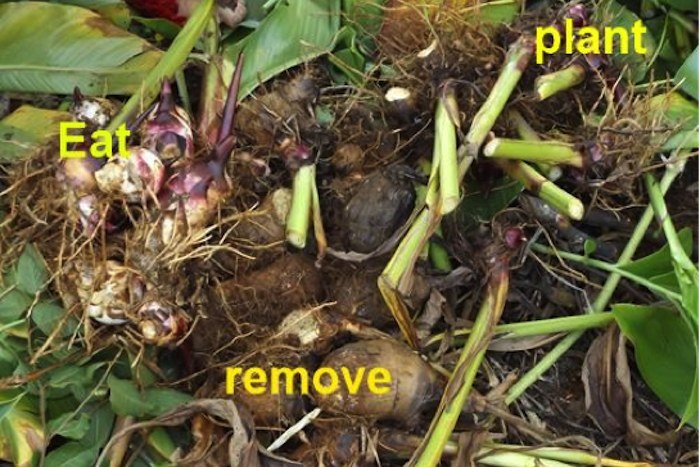 Arrowroot Remove