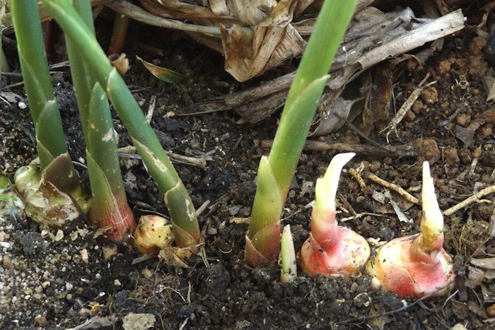 Ginger Sprouts