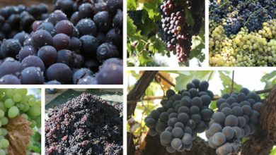 Photo of The Essential Guide to Everything you Need to Know about Growing Grapes