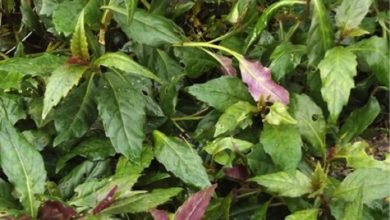 Photo of ​​Okinawa Spinach