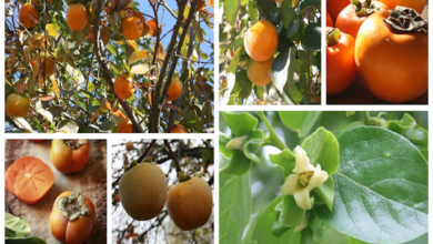 Photo of The Essential Guide to Probably Everything you Need to Know about Growing Persimmon