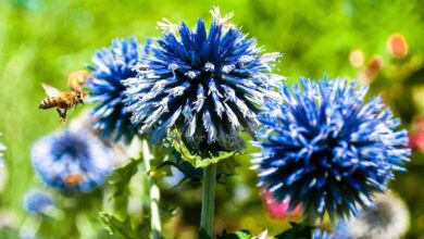 Photo of The mystery of the blue flower: nature's rare colour owes its existence to bee vision