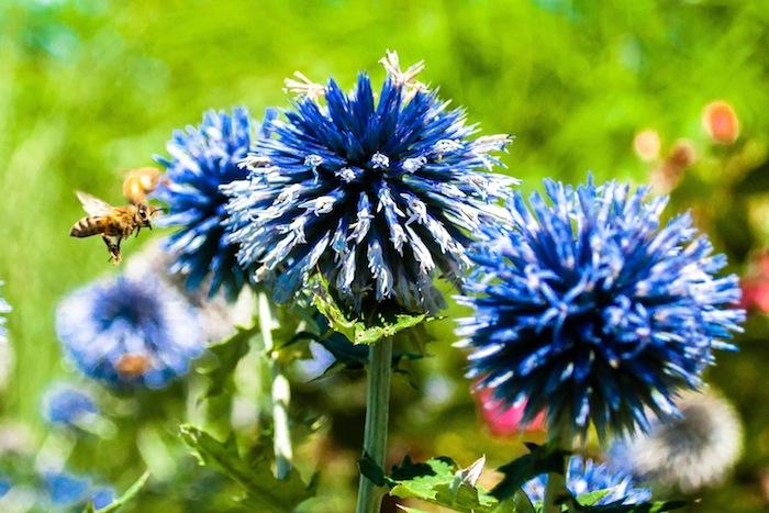 Bee Blue Flower