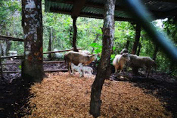 Goats Twenty Twenty