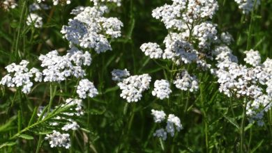 Photo of Yarrow for Oral Care