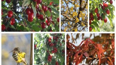 Cornellian Cherry