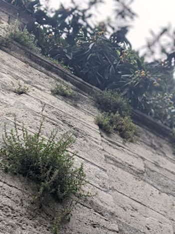 Istanbul Wall Plants