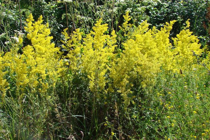 Galium verum – Lady's Bedstraw