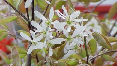 Amelanchier grandiflora